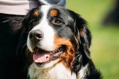 Fin de Berner Sennenhund de chien de montagne de Bernese  Images libres de droits
