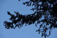 Fin de branche d'arbre de sapin  Photo stock