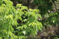 Fin de brunch d'arbre de sapin  Orientation peu profonde Fin pelucheuse de brunch d'arbre de sapin  Concept de papier peint Copie photos stock