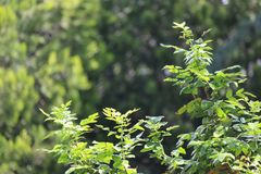Fin de brunch d'arbre de sapin  Orientation peu profonde Fin pelucheuse de brunch d'arbre de sapin  Concept de papier peint Copie images stock