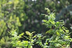Fin de brunch d'arbre de sapin  Orientation peu profonde Fin pelucheuse de brunch d'arbre de sapin  Concept de papier peint Copie image stock