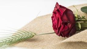 Fin de cadeau d'amour de rose de rouge  Photographie stock