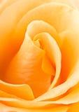 Fin de cadre de remous de Rose pleine  Images stock