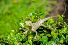 Fin de caméléon de la Thaïlande sur la feuille verte Photos stock