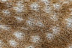 Fin de cerfs communs affrichés  Photographie stock