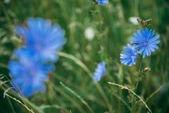 Fin de champ de bleuet  photographie stock libre de droits