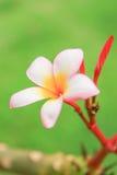 Fin de Champaka  Images stock