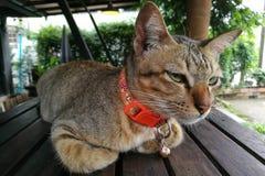 Fin de chat de Brown vers le haut des yeux jaunes Photographie stock libre de droits