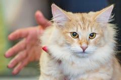 Fin de chat de forêt de la Norvège vers le haut de portrait Photos stock