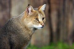 Fin de chat de jungle vers le haut Image libre de droits