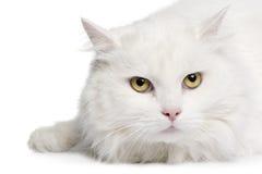 fin de chat de l'angora 5 en hausse les années blanches Images stock