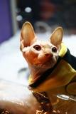 Fin de chat de Sphynx vers le haut de portrait photo libre de droits