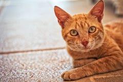 Fin de chat de Tom de gingembre vers le haut de portrait horizontal - animaux domestiques Images libres de droits
