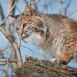 Fin de chat sauvage (rufus de Lynx) vers le haut dans l'arbre Photos libres de droits