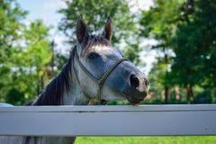 Fin de cheval blanc vers le haut Photo libre de droits