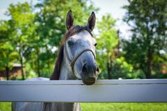 Fin de cheval blanc vers le haut Photographie stock libre de droits