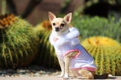 Fin de chien de chiwawa  Image stock