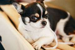 Fin de chien de chiwawa vers le haut de portrait Photo stock