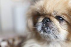 Fin de chien de pékinois  Image stock
