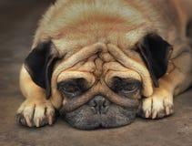 Fin de chien de roquet vers le haut de la photo de museau se reposant le jour chaud Photo stock