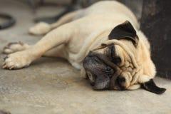 Fin de chien de roquet vers le haut de la photo de museau se reposant sur la sièste Photo libre de droits