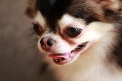 Fin de chiwawa de chien vers le haut du visage Photos stock