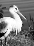 Fin de cigogne blanche, photo noire et blanche Photos libres de droits