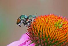 Fin de coléoptères japonais vers le haut et personnel Photos stock