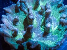 Fin de corail de Pectinia  Image libre de droits