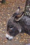 Fin de couleur de brun d'animal de ferme d'âne vers le haut d'animal familier mignon Photographie stock