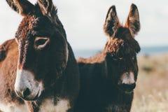 Fin de couleur de brun d'animal de ferme d'ânes vers le haut des animaux familiers drôles mignons Image libre de droits