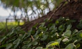Fin de couverture végétale de mauvaise herbe de rein  Photographie stock libre de droits
