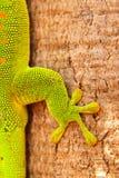 Fin de détail de Gecko vers le haut images libres de droits