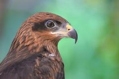 Fin de faucon d'aigle vers le haut Photographie stock