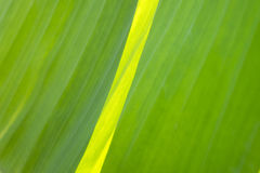Fin de feuille de banane vers le haut de macro Photographie stock