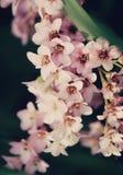 Fin de fleur de Bergenia  Photo stock
