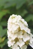 Fin de fleur d'hortensia d'Oakleaf dans un jardin Photographie stock libre de droits