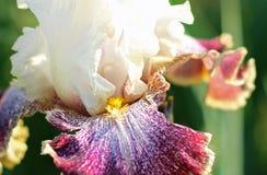 Fin de fleur d'iris Photos libres de droits