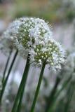 Fin de fleur d'oignon  Photos libres de droits