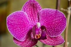 Fin de fleur d'orchidée Photos libres de droits