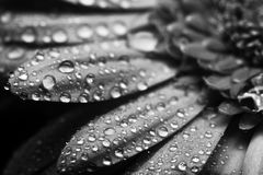 Fin de fleur de Gerbera vers le haut de macro photo photo libre de droits