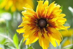 Fin de fleur de hirta de Rudbeckia  Images stock