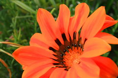 Fin de fleur de marguerite vers le haut images stock
