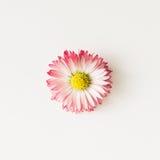 Fin de fleur de marguerite vers le haut Configuration plate Image libre de droits