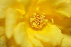 Fin de fleur de rose de jaune  Images libres de droits