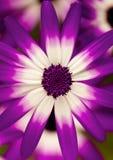 Fin de fleur de Senetti vers le haut de macro photographie photos libres de droits