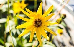 Fin de fleur de Topinambur  Photographie stock libre de droits
