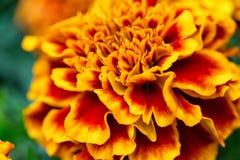 Fin de floraison de fleur de Tagetes  Fond naturel gentil avec le foyer sélectif Photographie stock