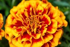 Fin de floraison de fleur de Tagetes  Fond naturel gentil avec le foyer sélectif Photos stock