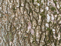 Fin de fond de BarkTexture d'arbre vers le haut du bouleau argenté de tir avec de la mousse Photos libres de droits